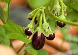 Calliope eggplant